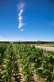 玉米的五颜六色的领域在蓝天的在夏天 免版税库存照片