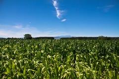 玉米的五颜六色的领域在蓝天的在夏天 图库摄影