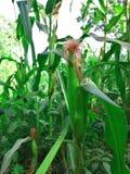 玉米的图片与树的 免版税库存图片