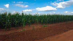 玉米的域 免版税库存照片