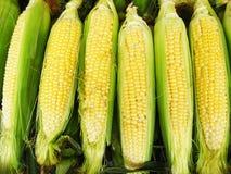 玉米的收获 库存照片