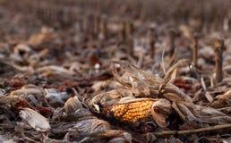 玉米的末端 免版税库存图片
