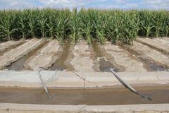 玉米的灌溉在农业农田的 库存照片