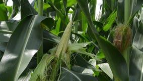 玉米的种植园 股票视频