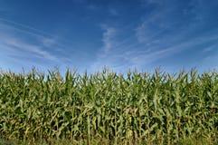 玉米的美好的绿色领域在蓝天下 免版税库存照片