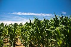 玉米的美妙的五颜六色的领域在蓝天的在作为自然本底的夏天 图库摄影