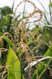 玉米的耳朵 库存照片