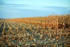玉米的部分地被收获的领域在日落的 免版税库存照片