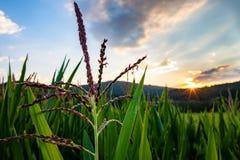 玉米的领域在日落的在小山 免版税库存照片