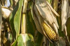 玉米的领域的特写镜头 库存照片