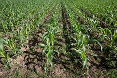 年轻玉米的领域 图库摄影