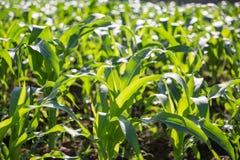 年轻玉米的领域 库存图片