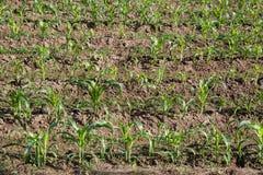 年轻玉米的领域 免版税库存图片