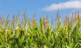 玉米的高领域特写镜头  免版税库存图片