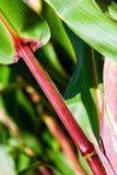 玉米离开茎 库存照片