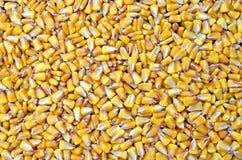 玉米种子,农业背景 免版税库存照片