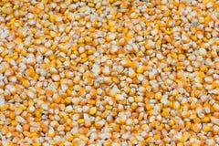 玉米种子 免版税库存照片