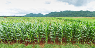 玉米种植园在泰国5D3AN_1978 免版税库存照片