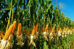 玉米种植园 免版税库存图片