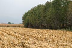 玉米种植在秋天 免版税库存图片