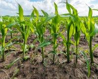 年轻玉米种植行一个湿领域的从关闭 免版税图库摄影