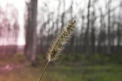玉米穗与背景白杨树的 免版税库存图片