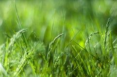 玉米穗在草背景的  库存图片