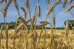 玉米穗在领域的边缘的 免版税图库摄影