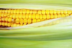 玉米穗,与空间的特写镜头拷贝的 免版税库存图片
