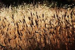 玉米穗,在背后照明,夏天,西西里岛 免版税库存照片