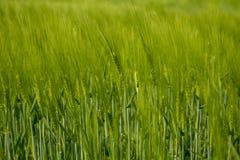 玉米穗 免版税库存图片