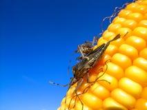 玉米穗 图库摄影