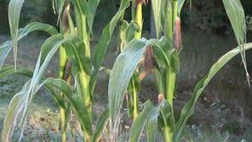 玉米第一霜霜的玉米种植在早期的秋天早晨 掀动 4K 股票录像