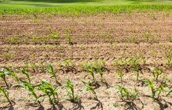 玉米绿色年轻人 免版税图库摄影