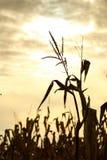 玉米缨子 免版税图库摄影