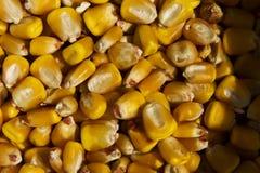 玉米背景 免版税库存照片