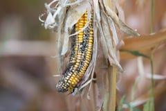 玉米腐烂疾病 库存图片