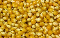 玉米花干种子。 免版税库存照片