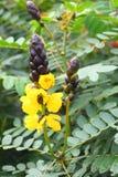 玉米花桂皮-番泻树Didymobotrya黄色花-一棵共同的植物在喀拉拉,印度 免版税图库摄影