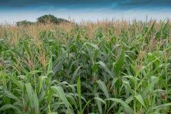 玉米花粉和天空 免版税库存照片