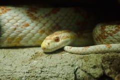 玉米蛇是一条普遍的蛇 提高小牺牲者的宠物狩猎通过收缩 图库摄影