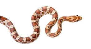 玉米蛇 库存图片