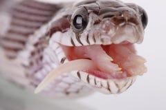 玉米蛇 图库摄影