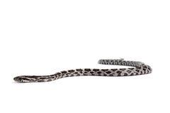 玉米蛇 库存照片