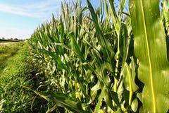 玉米行在北伊利诺伊 库存图片