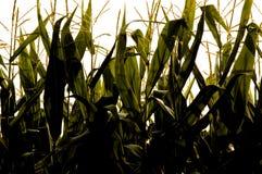 玉米行 库存图片