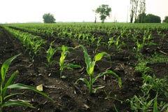 玉米行 库存照片