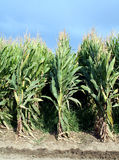 玉米行 免版税库存图片
