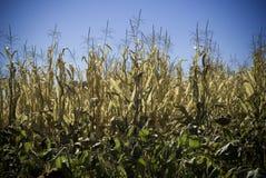 玉米详细资料域 图库摄影