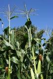 玉米详述域成熟甜点 库存照片
